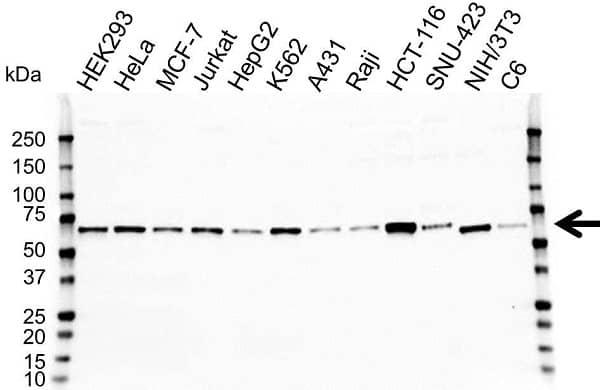 Anti HEXIM1 Antibody (PrecisionAb Polyclonal Antibody) gallery image 1