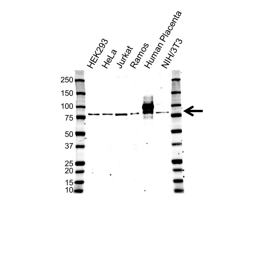 Anti Hgf Antibody (PrecisionAb Polyclonal Antibody) gallery image 1