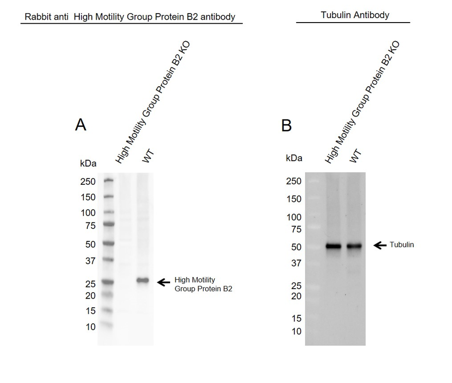 Anti High Mobility Group Protein B2 Antibody (PrecisionAb Polyclonal Antibody) thumbnail image 1