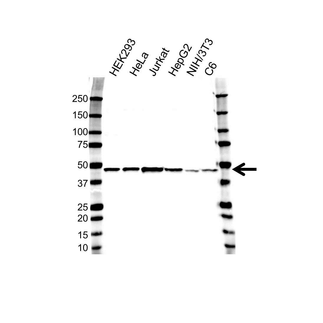 Anti Histone Acetyltransferase 1 Antibody (PrecisionAb Polyclonal Antibody) gallery image 1