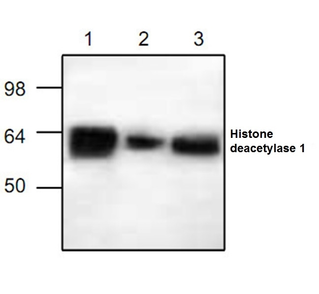Anti Histone Deacetylase 1 Antibody gallery image 1
