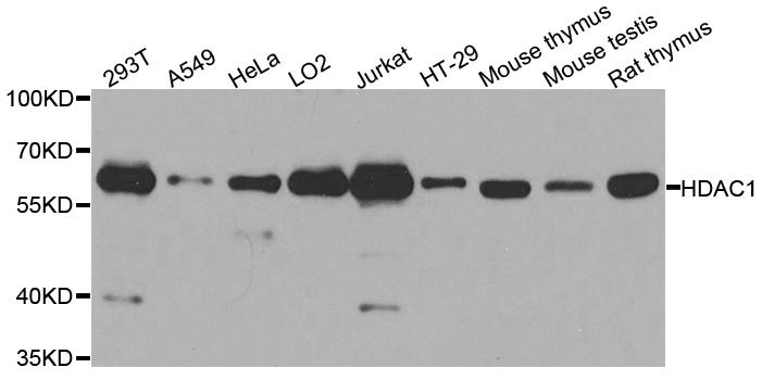 Anti Histone Deacetylase 1 Antibody thumbnail image 1
