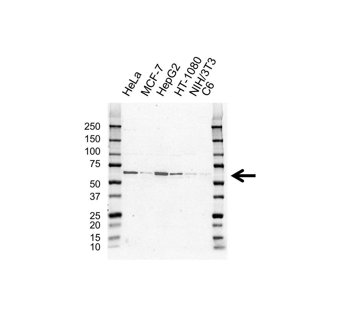 Anti Histone Deacetylase 1 Antibody (PrecisionAb Polyclonal Antibody) gallery image 1