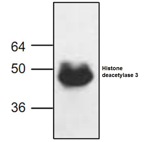 Anti Histone Deacetylase 3 Antibody gallery image 1