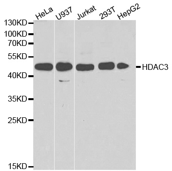 Anti Histone Deacetylase 3 Antibody thumbnail image 1