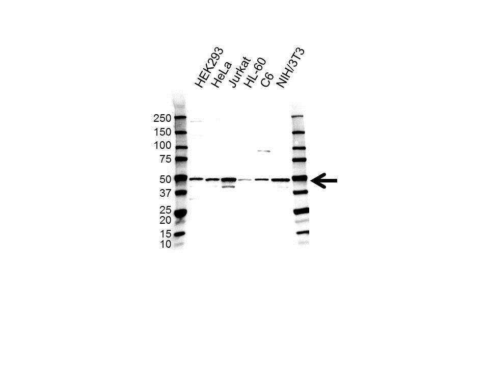 Anti Histone Deacetylase 3 Antibody (PrecisionAb Polyclonal Antibody) gallery image 1