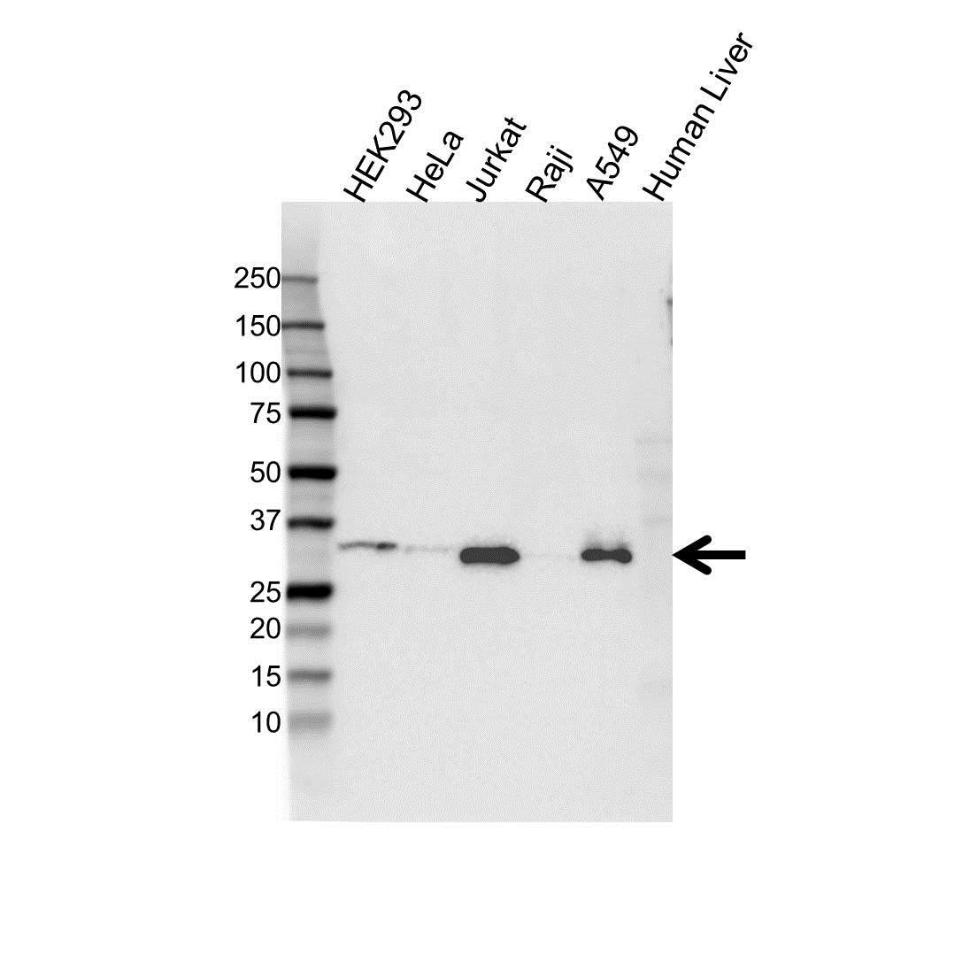 Anti Histone H1.3 Antibody (PrecisionAb™ Polyclonal Antibody) gallery image 1