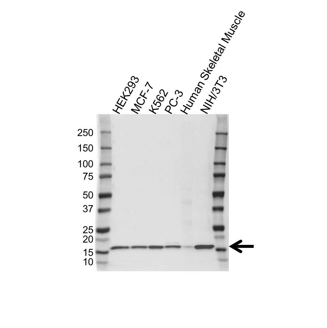 Anti Histone H2B 1M Antibody (PrecisionAb™ Polyclonal Antibody) gallery image 1