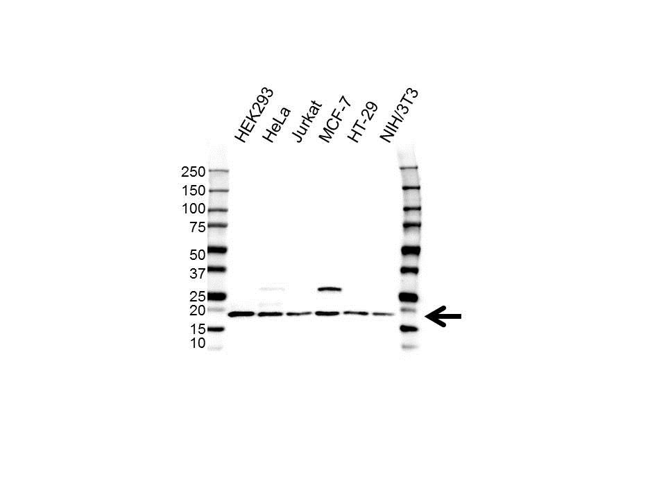 Anti Histone H2BJ Antibody (PrecisionAb™ Polyclonal Antibody) gallery image 1