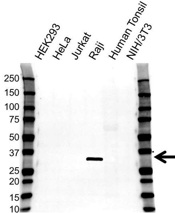 Anti HLA DRB4 Antibody (PrecisionAb Polyclonal Antibody) gallery image 1