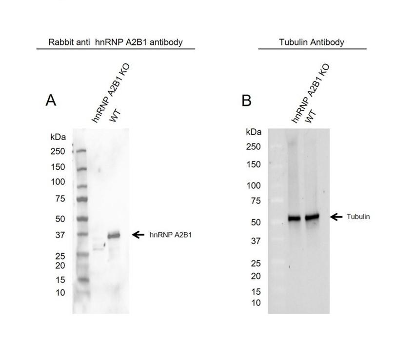 Anti hnRNP A2B1 Antibody (PrecisionAb Polyclonal Antibody) thumbnail image 2