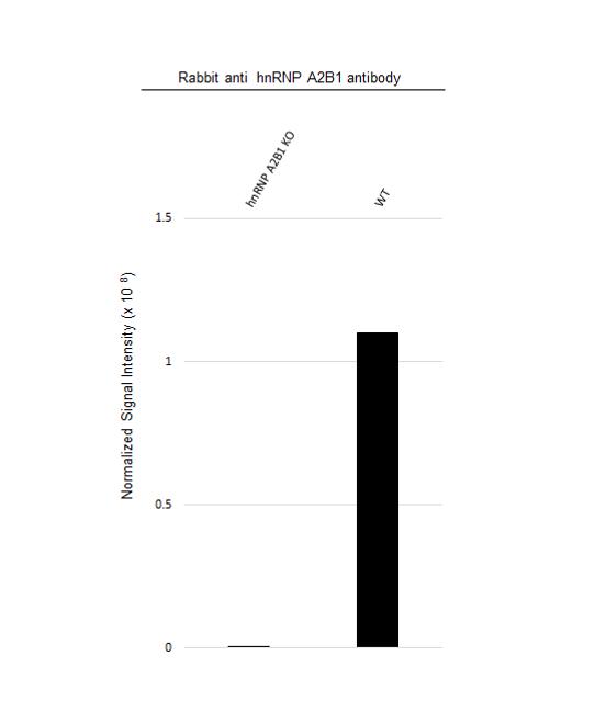 Anti hnRNP A2B1 Antibody (PrecisionAb Polyclonal Antibody) thumbnail image 3