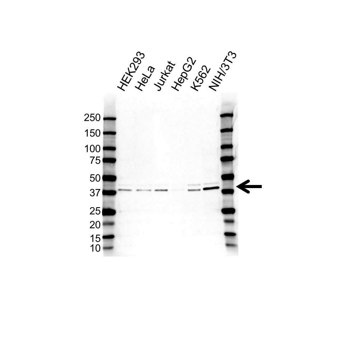 Anti hnRNP Ab Antibody (PrecisionAb Polyclonal Antibody) gallery image 1