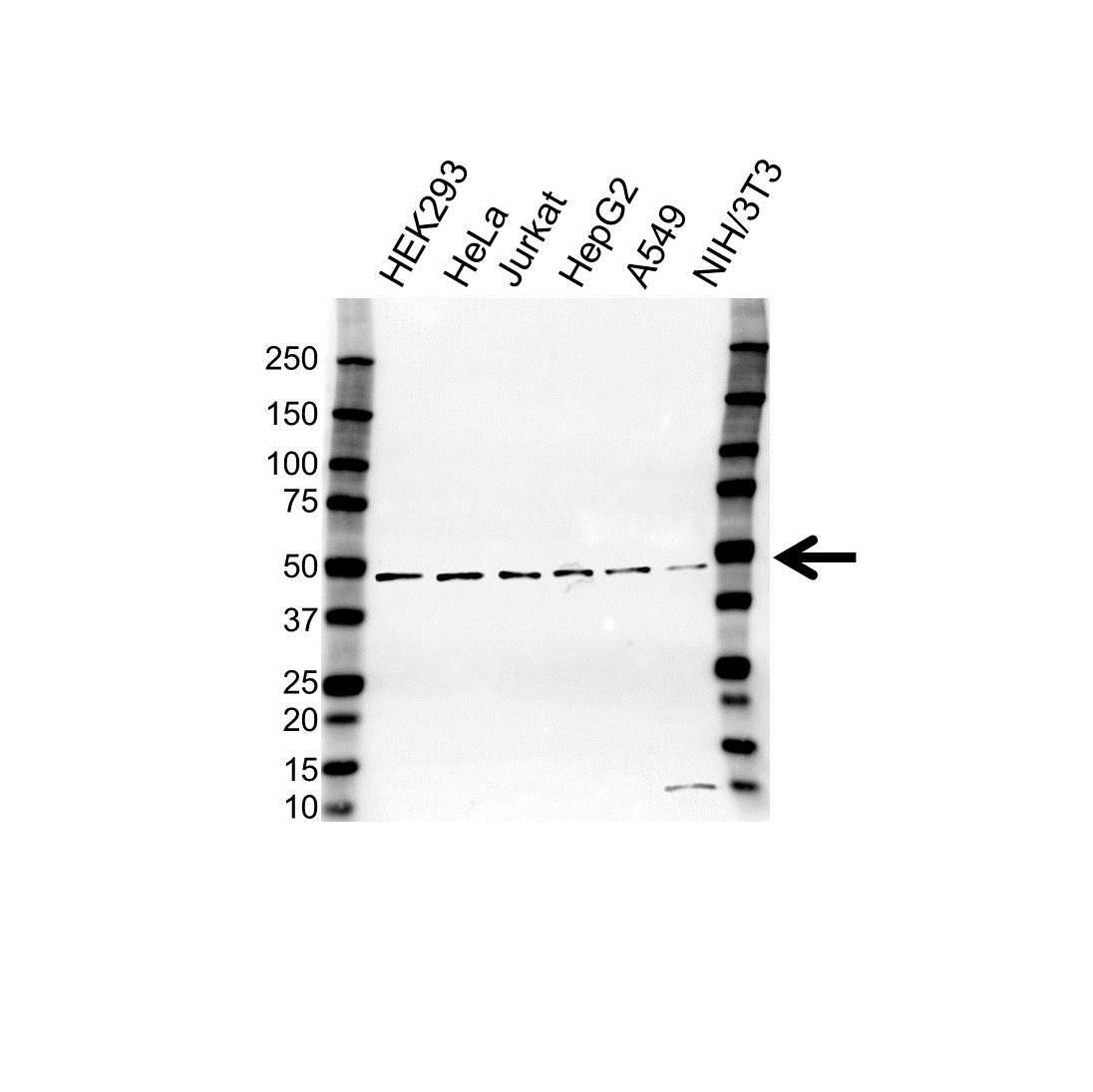 Anti hnRNP G Antibody (PrecisionAb™ Polyclonal Antibody) gallery image 1