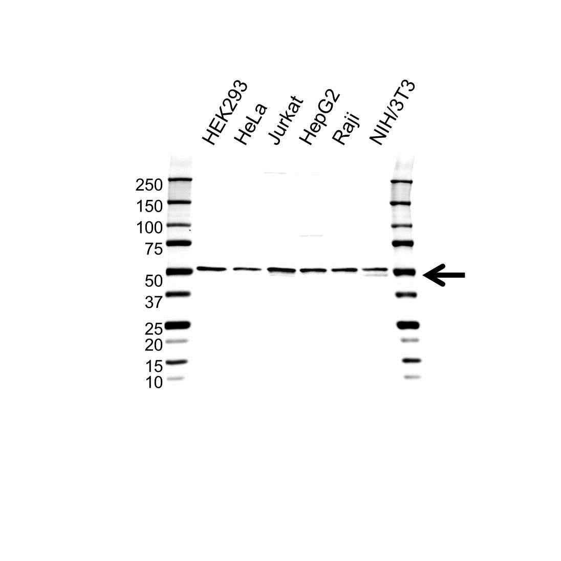 Anti hnRNP H1 Antibody (PrecisionAb™ Polyclonal Antibody) gallery image 1