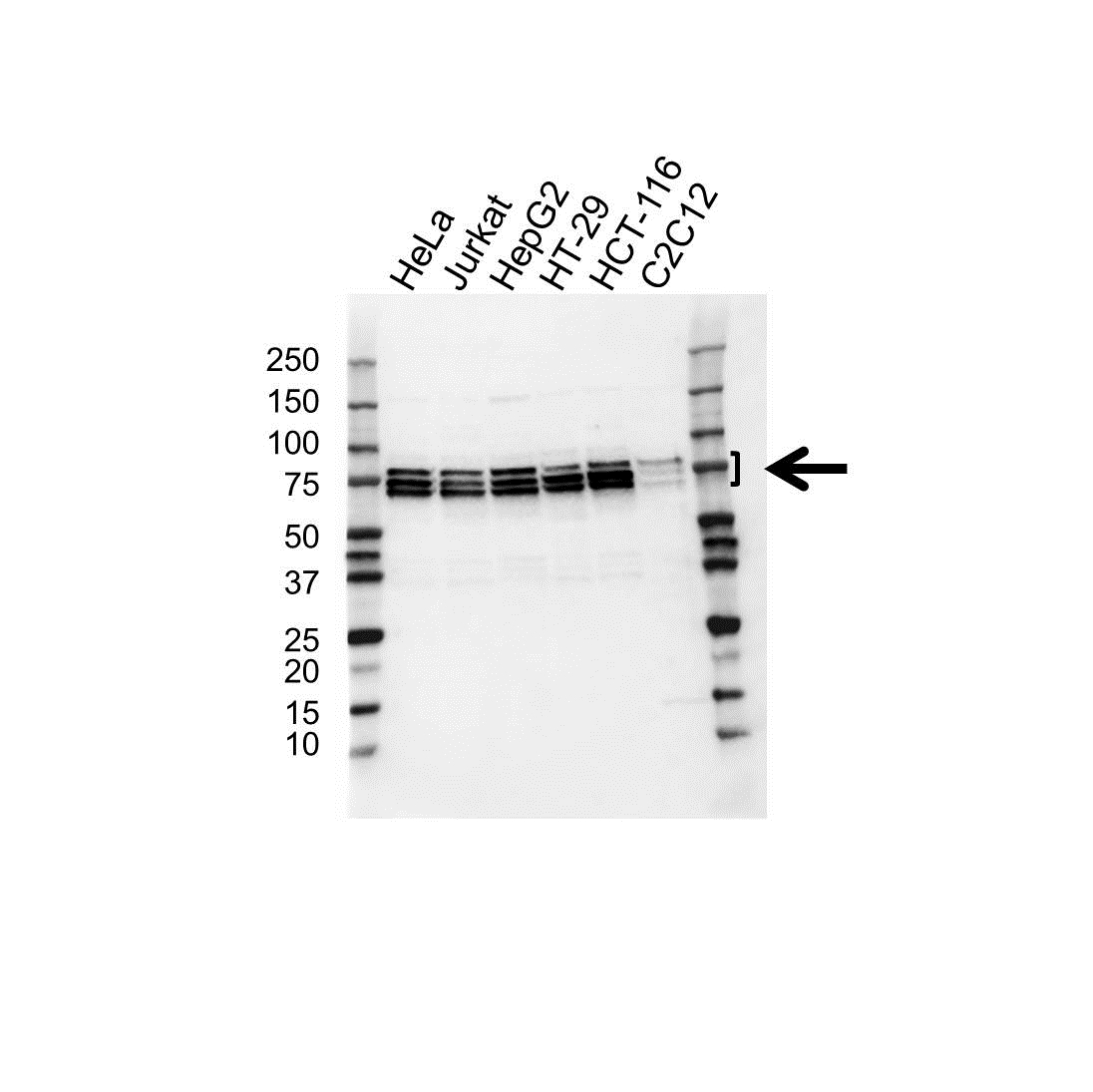 Anti Hnrnpq / Syncrip Antibody (PrecisionAb™ Polyclonal Antibody) gallery image 1
