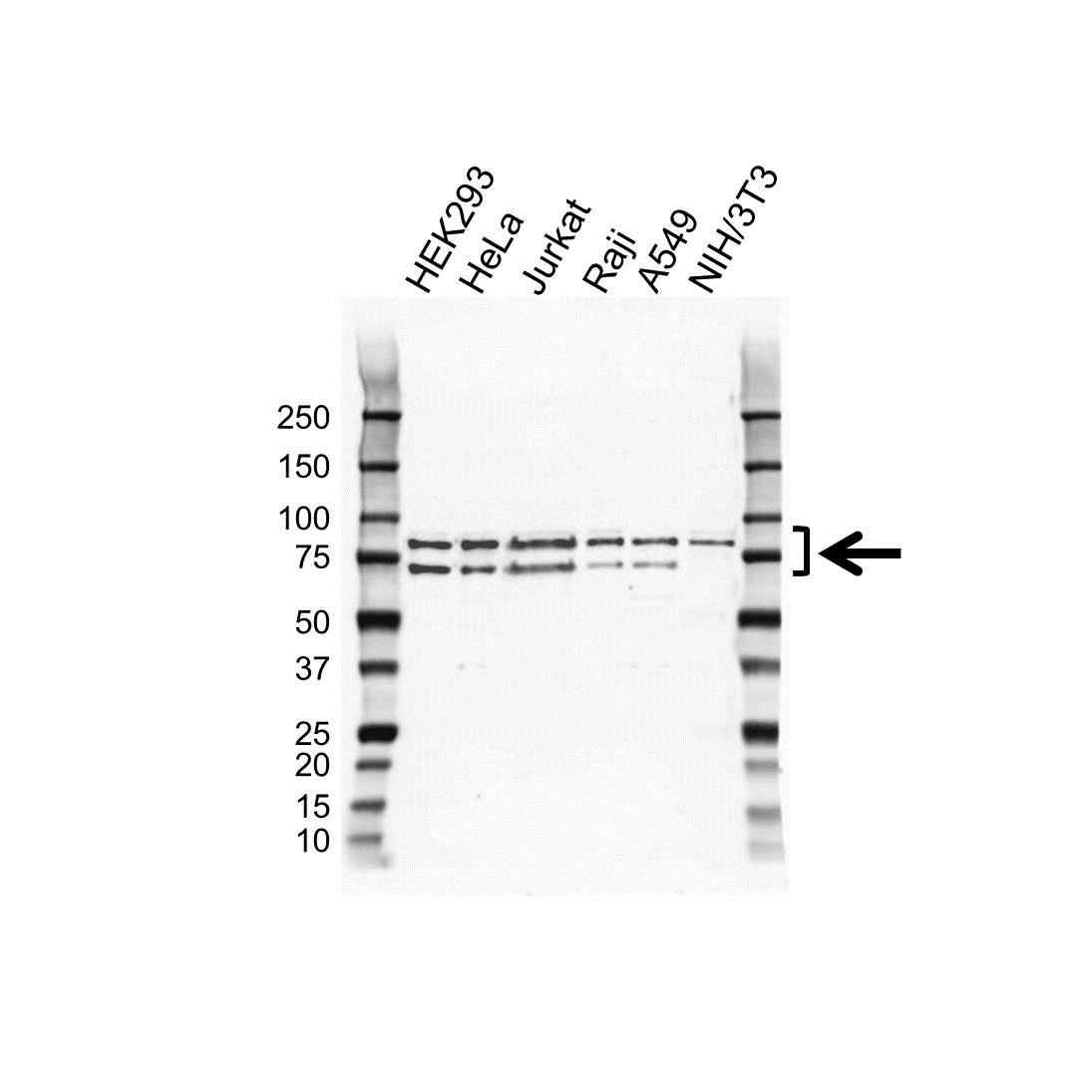 Anti hnRNP R Antibody (PrecisionAb Polyclonal Antibody) gallery image 1