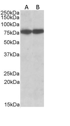 Anti Human Hsc70 Antibody thumbnail image 2