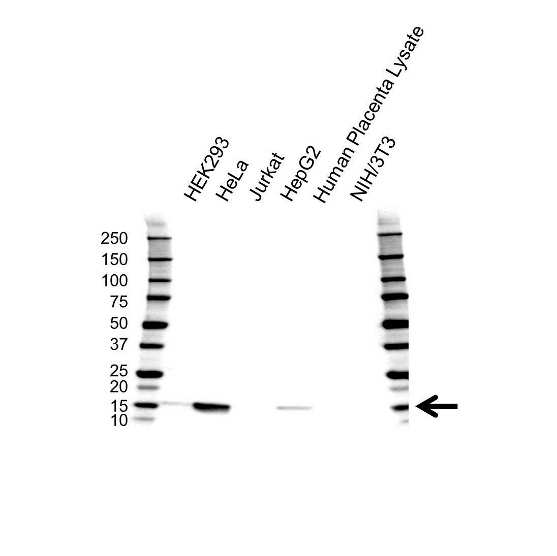 Anti IFITM3 Antibody (PrecisionAb Polyclonal Antibody) gallery image 1