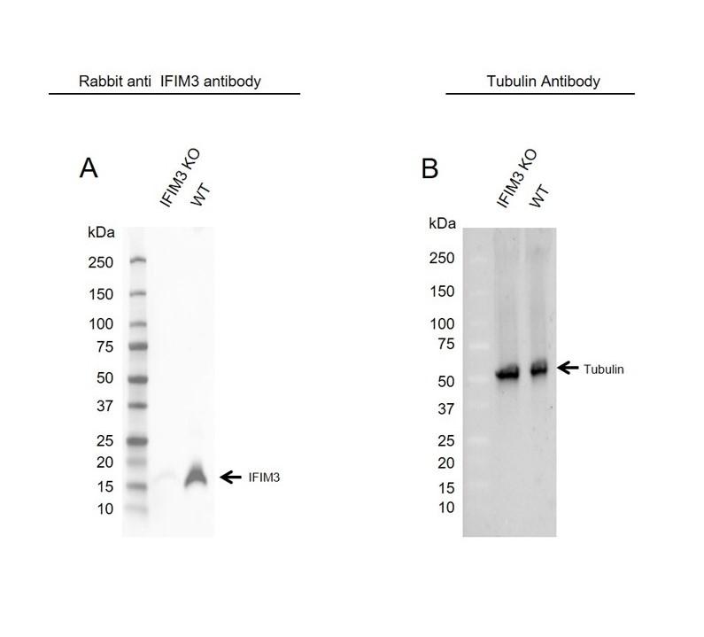 Anti IFITM3 Antibody (PrecisionAb Polyclonal Antibody) thumbnail image 2