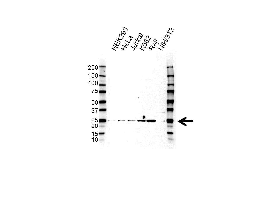 Anti IFN ALPHA10 Antibody (PrecisionAb Polyclonal Antibody) gallery image 1