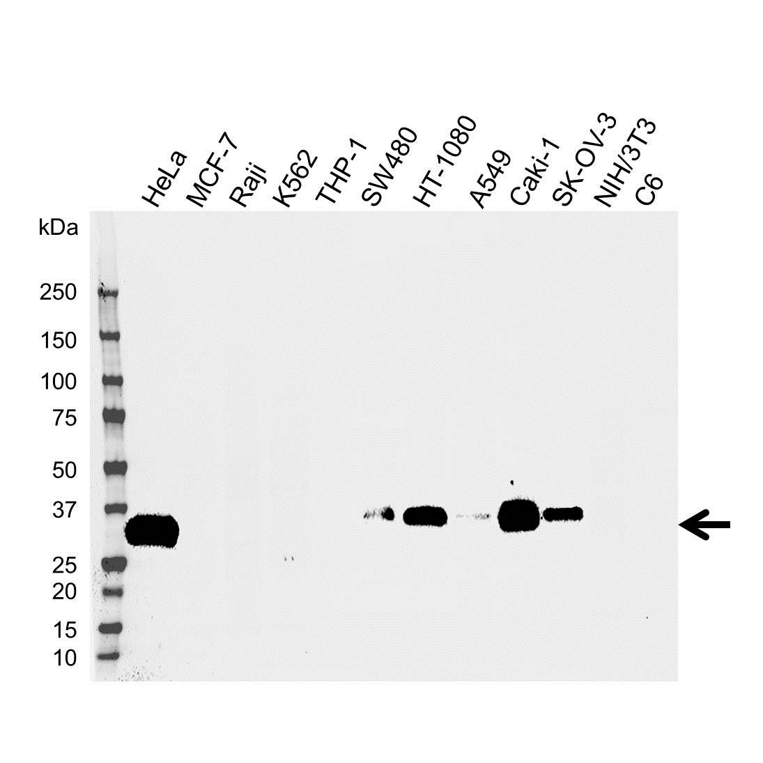 Anti IGFBP-7 Antibody (PrecisionAb Polyclonal Antibody) gallery image 1