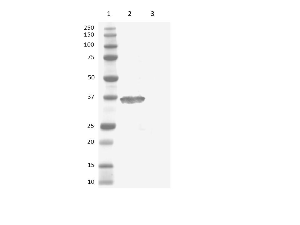 Anti Human IgG (Fc) Antibody gallery image 1