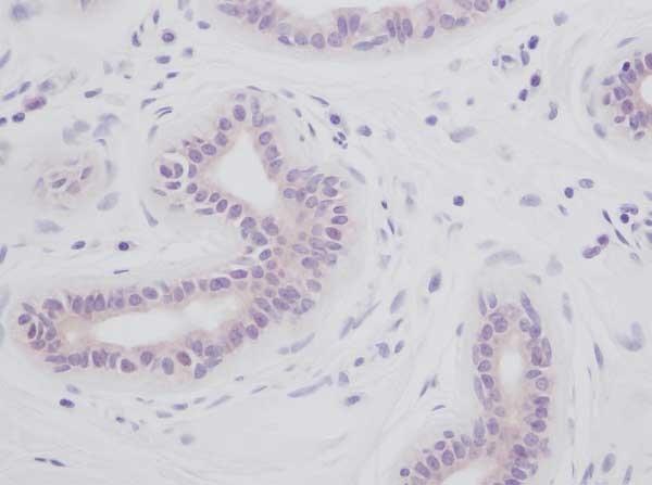 Anti Human Interleukin-1 Alpha Antibody thumbnail image 2