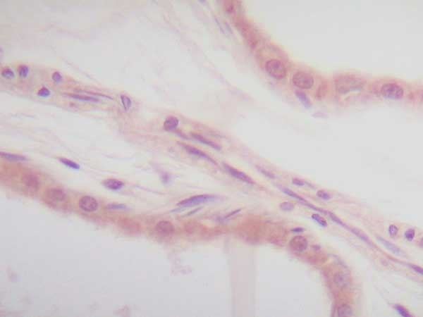 Anti Human Interleukin-1 Alpha Antibody thumbnail image 3