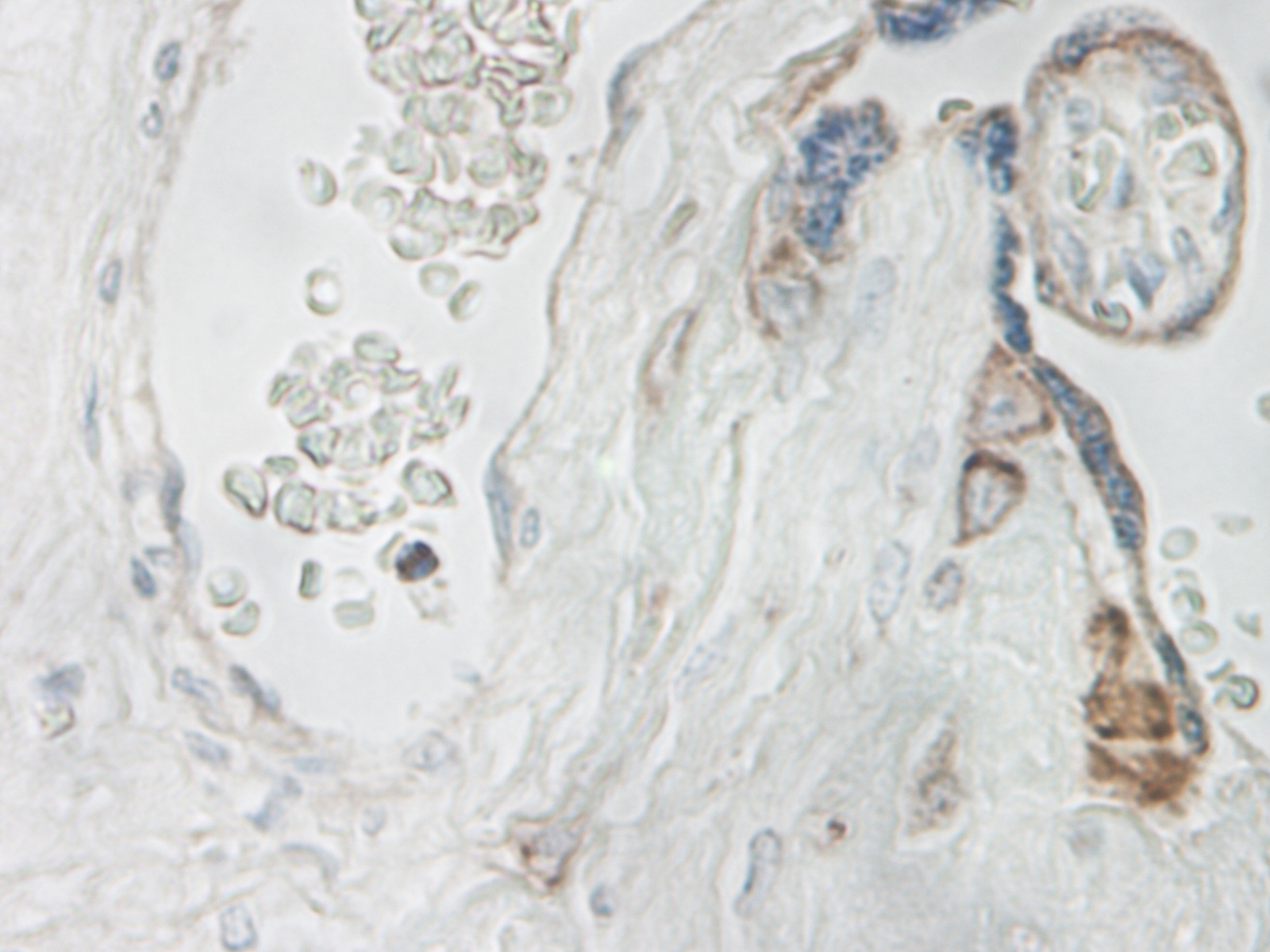 Anti Human Interleukin-15 Antibody thumbnail image 3
