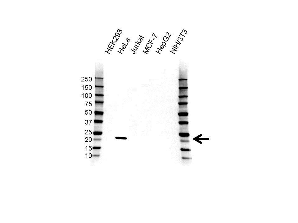 Anti Interleukin-18 Antibody (PrecisionAb™ Polyclonal Antibody) gallery image 1