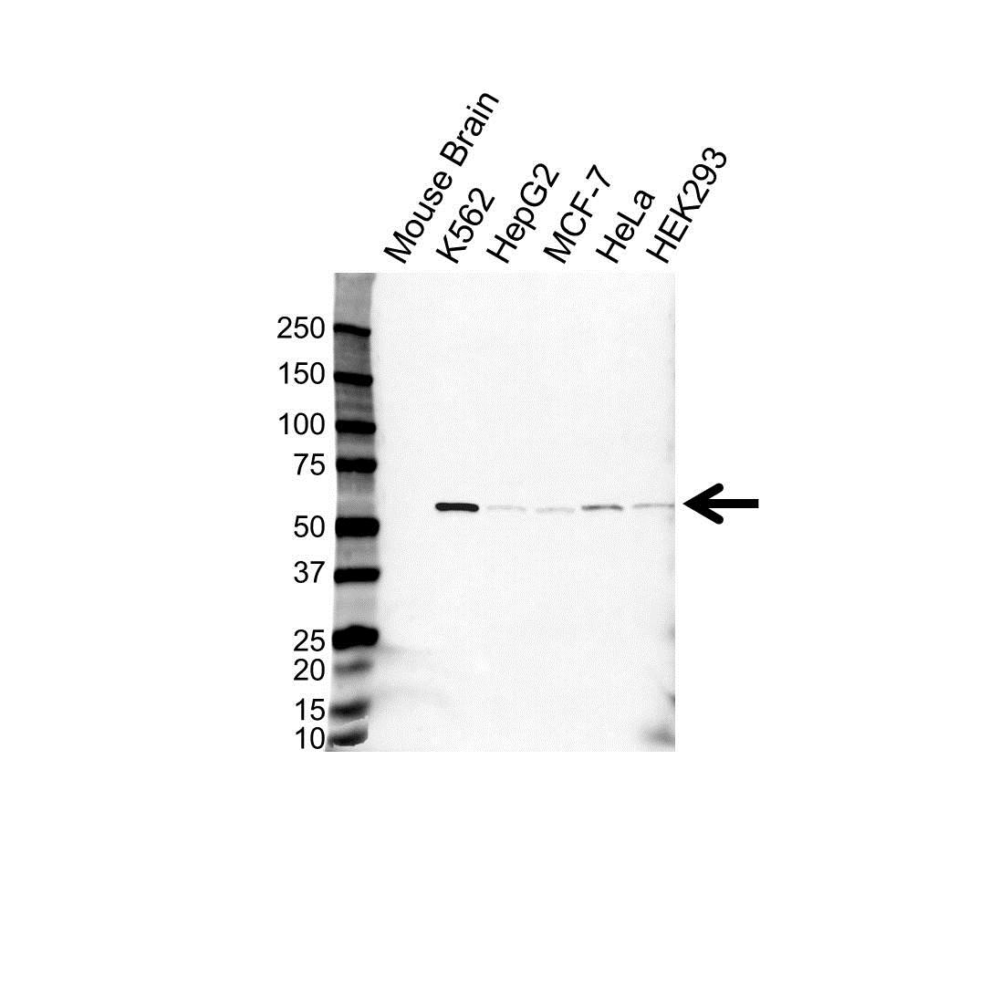 Anti IMPDH2 Antibody (PrecisionAb Polyclonal Antibody) gallery image 1