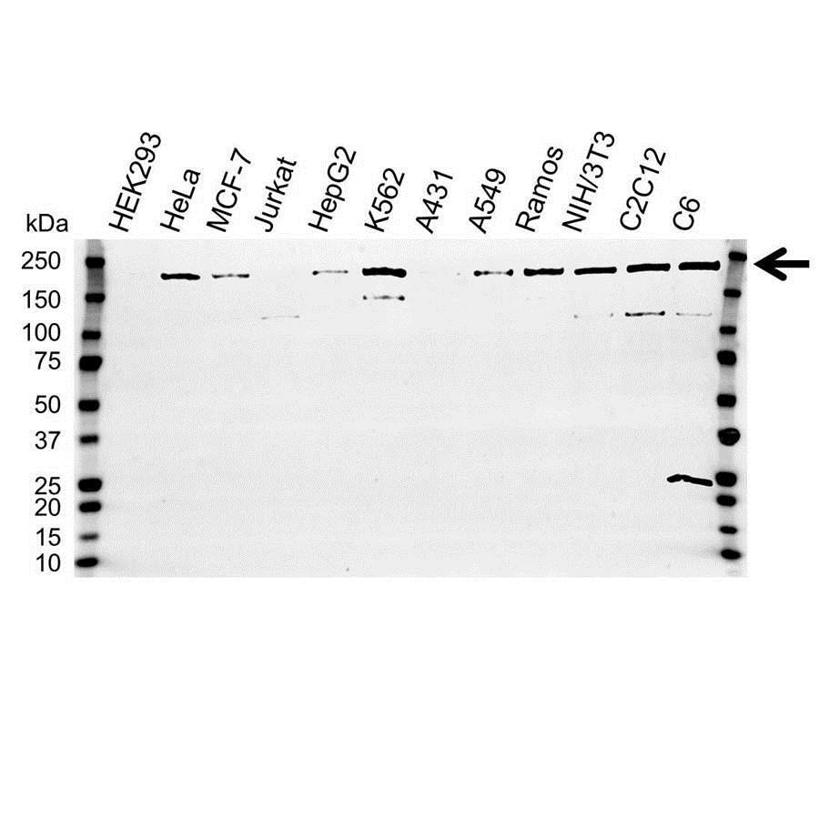 Anti IQGAP1 Antibody (PrecisionAb Polyclonal Antibody) gallery image 1