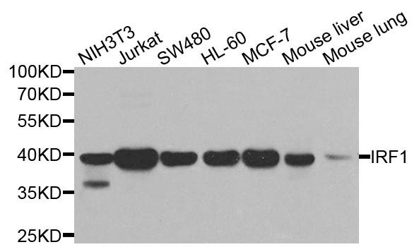 Anti IRF1 Antibody thumbnail image 1