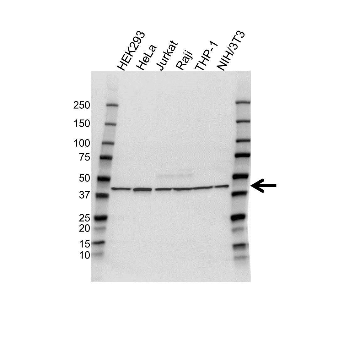 Anti IRF1 Antibody (PrecisionAb Polyclonal Antibody) thumbnail image 1