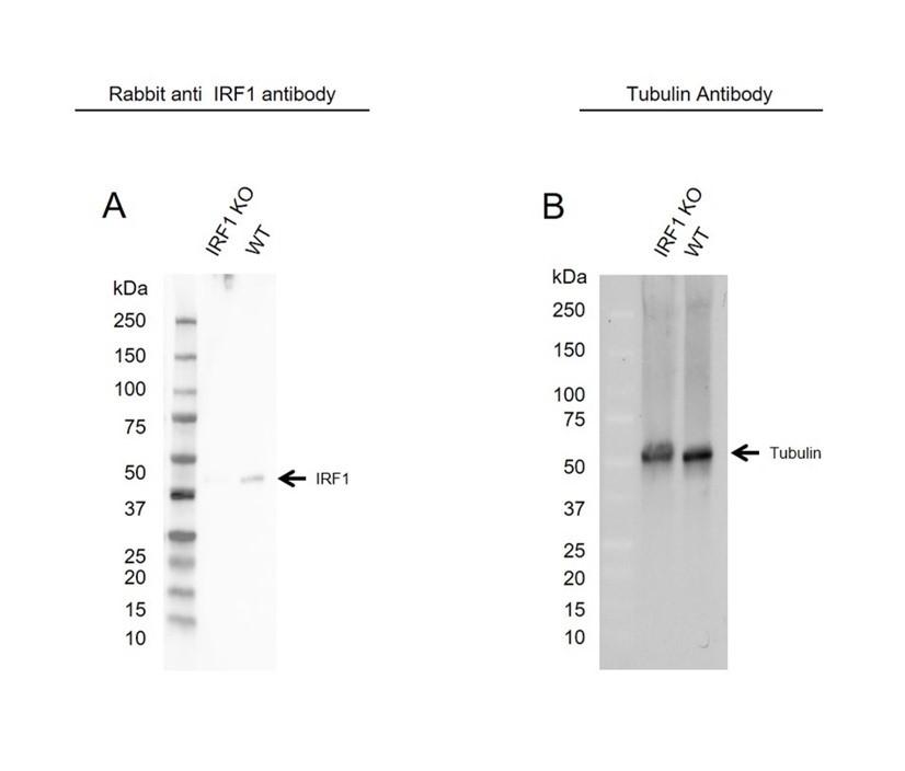 Anti IRF1 Antibody (PrecisionAb Polyclonal Antibody) thumbnail image 2