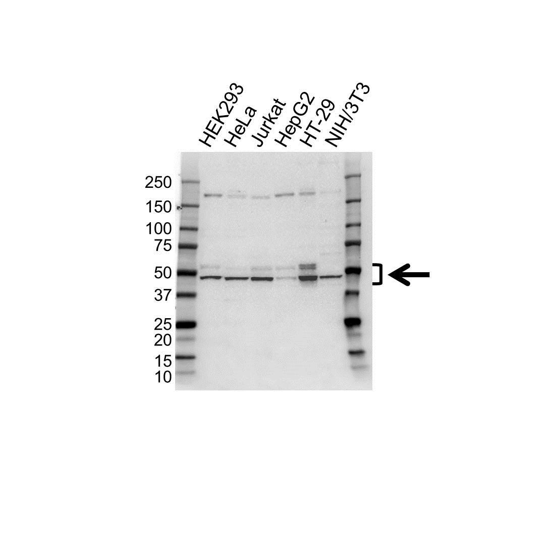 Anti IRF3 Antibody (PrecisionAb Polyclonal Antibody) gallery image 1