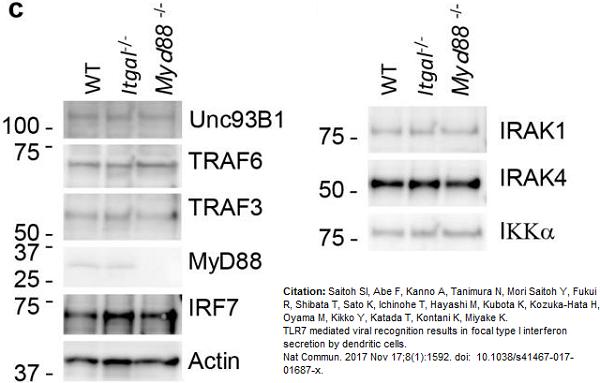 Anti IRF7 (C-Terminal) Antibody thumbnail image 3