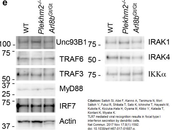 Anti IRF7 (C-Terminal) Antibody thumbnail image 4
