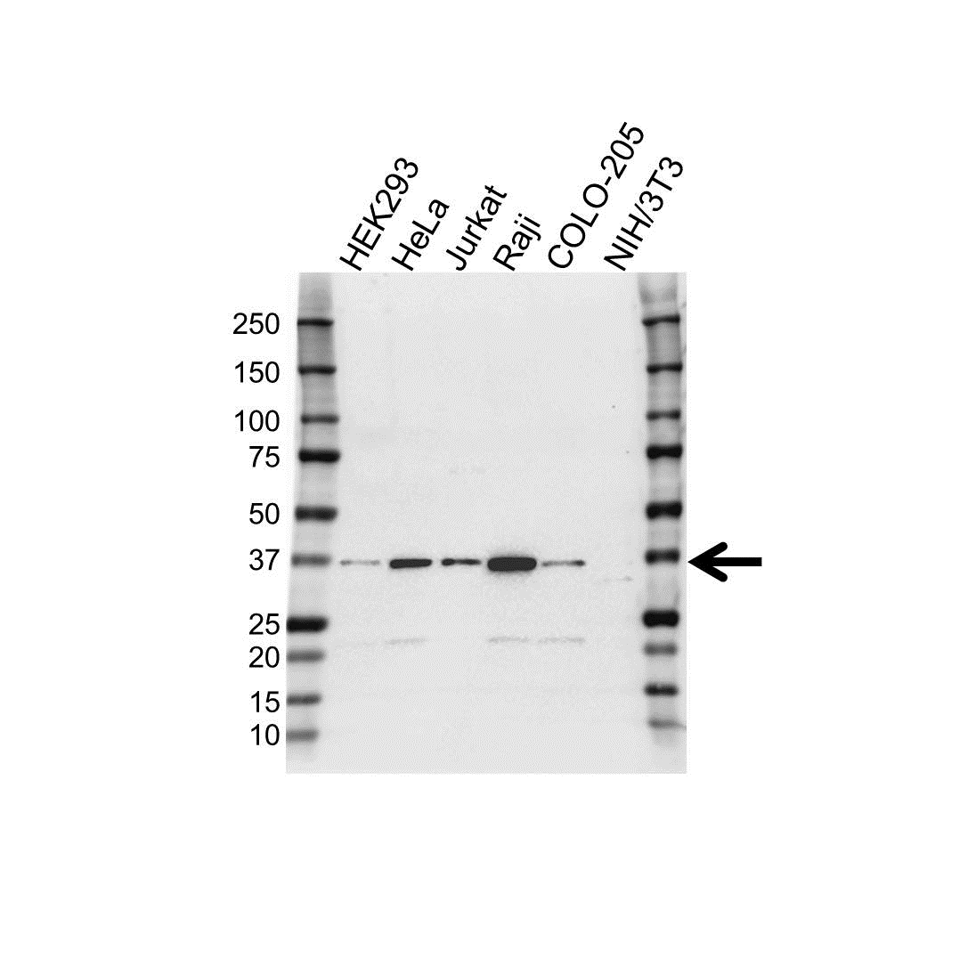 Anti IST1 Antibody (PrecisionAb™ Polyclonal Antibody) gallery image 1