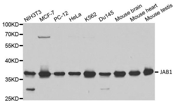 Anti JAB1 Antibody thumbnail image 1