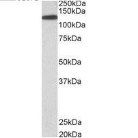 Anti Human Kinesin Heavy Chain (C-Terminal) Antibody thumbnail image 2