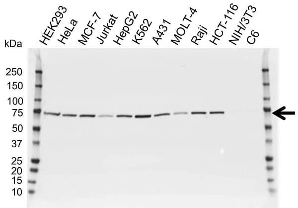 Anti Lamin B1 Antibody (PrecisionAb Polyclonal Antibody) gallery image 1