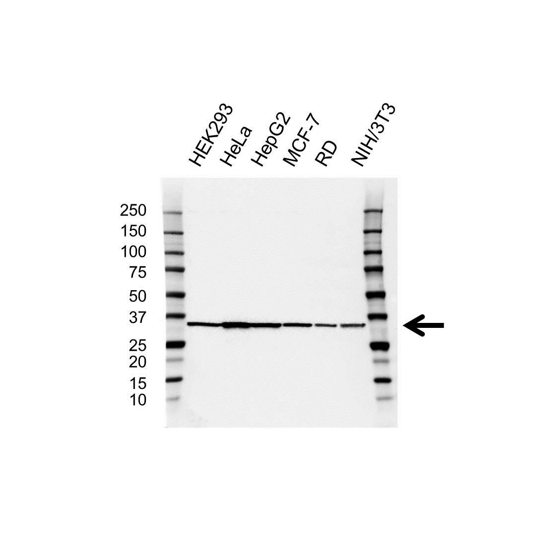 Anti Ldha Antibody (PrecisionAb Polyclonal Antibody) gallery image 1