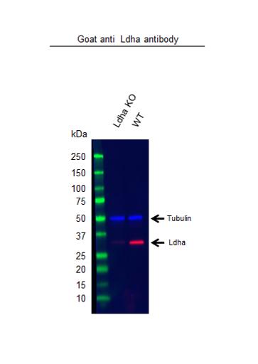 Anti Ldha Antibody (PrecisionAb Polyclonal Antibody) thumbnail image 2