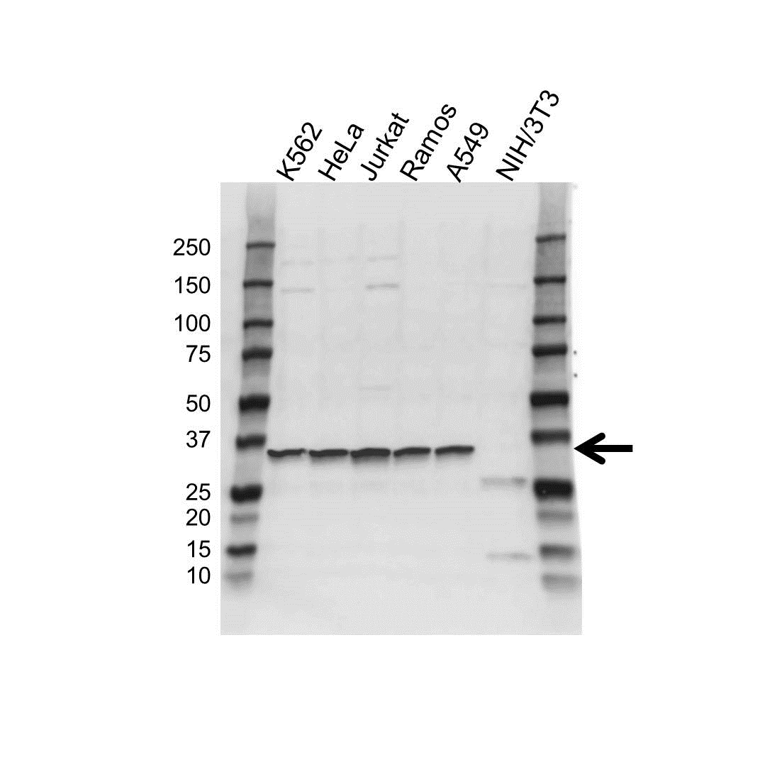 Anti LDHB Antibody (PrecisionAb™ Polyclonal Antibody) gallery image 1