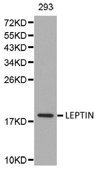 Anti Leptin Antibody thumbnail image 1