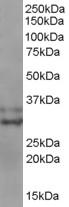 Anti Human Livin (C-Terminal) Antibody thumbnail image 1