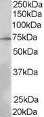 Anti Human Lnk (N-Terminal) Antibody thumbnail image 1