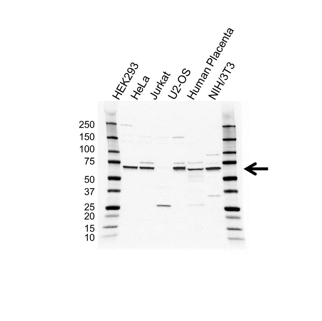 Anti M-CSF Antibody (PrecisionAb™ Polyclonal Antibody) gallery image 1